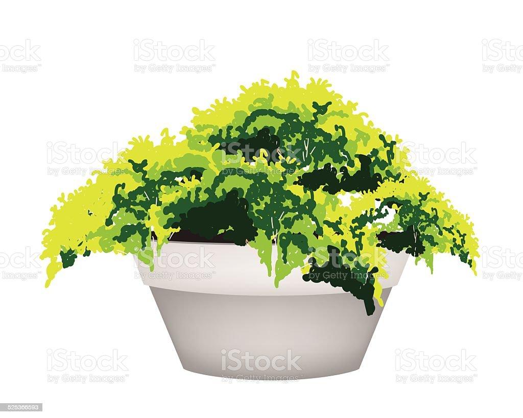 Arbre Persistant En Pot illustration de de pot fleur plante À feuillage persistant