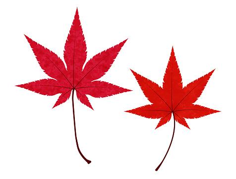 Illustration of fallen leaves of japanese maple