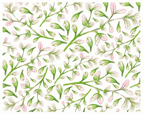 Illustration of Fresh Manila Tamarind on White Background