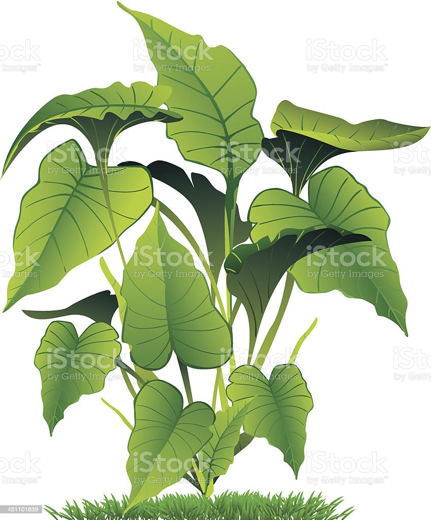 Illustration of green caladium leaves vector art illustration