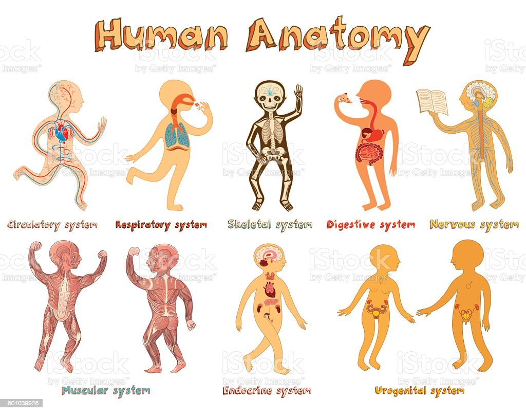 Illustration Of Human Anatomy Systems Of Organs For Kids Stock