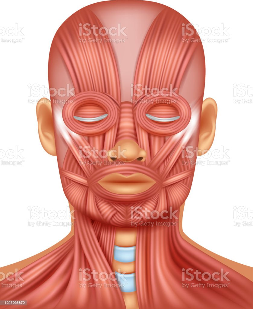 Illustration Of Human Head Muscle Stock Vector Art More Images Of