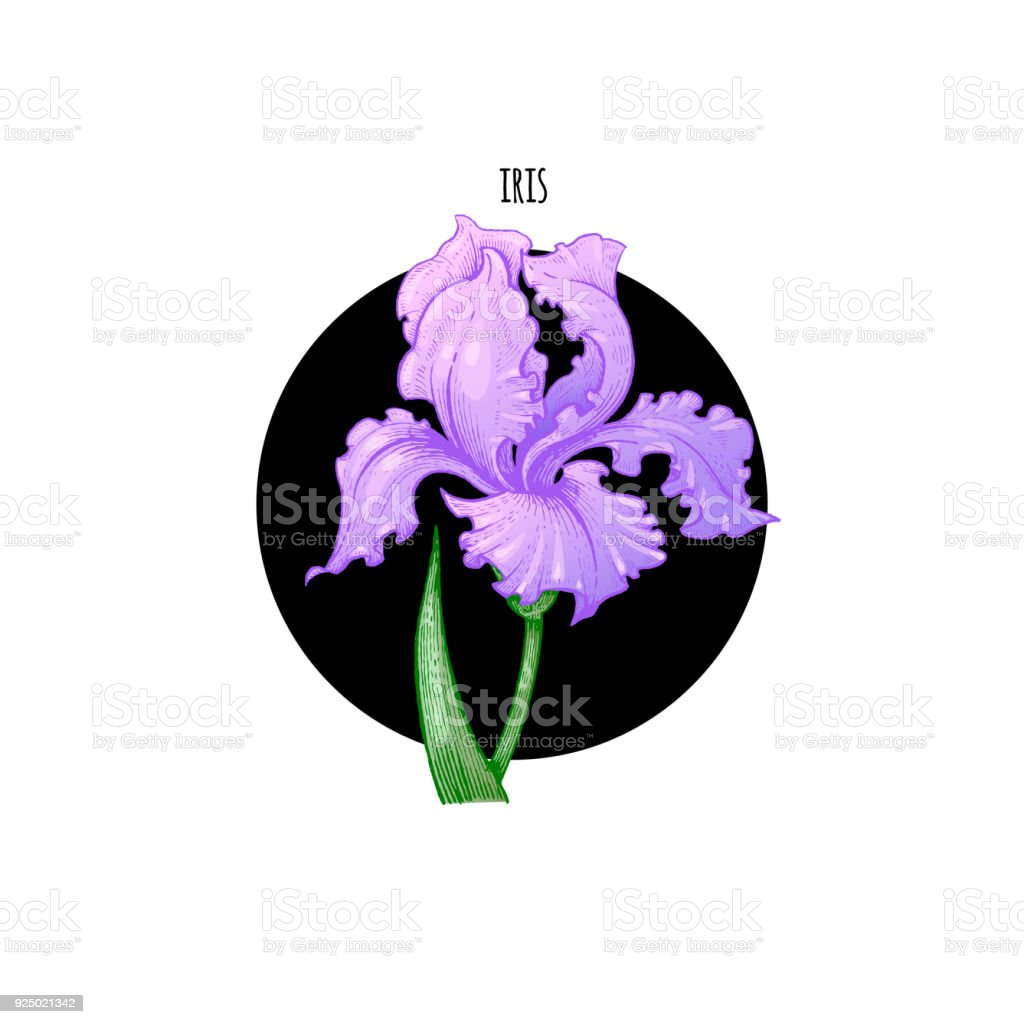 Illustration Of Iris Flower Vector Stock Vector Art More Images Of