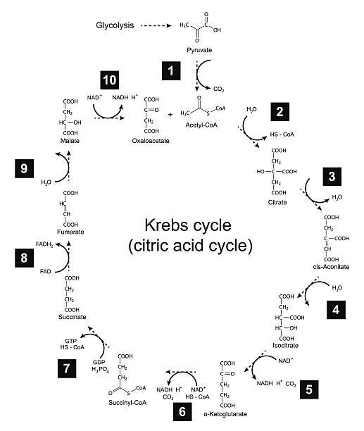 illustration roussel cycle-tricarboxylic säure (zitrus-rad) - enzyme stoffwechsel stock-grafiken, -clipart, -cartoons und -symbole