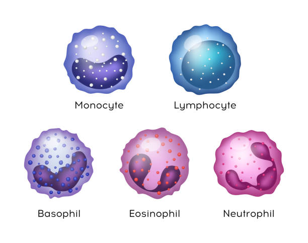 Illustration of Monocyte,   Lymphocyte, Eosinophil, Neutrophil, Basophil .Vector blood cells. Illustration of Monocyte,   Lymphocyte, Eosinophil, Neutrophil, Basophil .Vector blood cells. biological cell stock illustrations