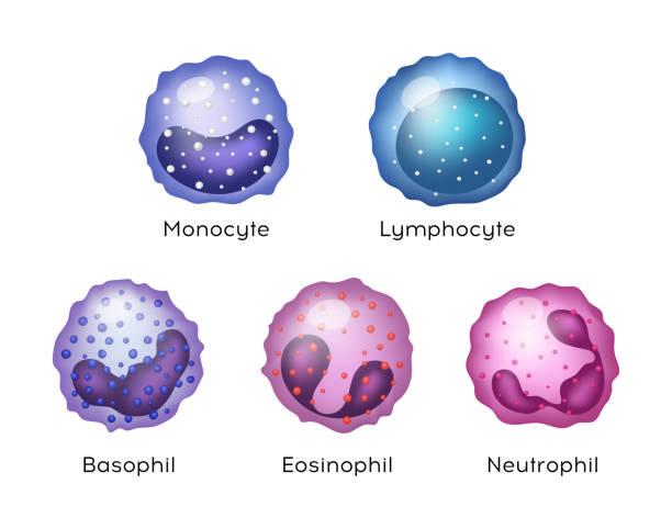 illustrazioni stock, clip art, cartoni animati e icone di tendenza di illustrazione di monocita, linfocita, eosinofilo, neutrofilo, basofilo . cellule del sangue vettoriali. - cellula