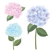 illustration of natural summer botanical vintage flowers with blooming hydrangea.