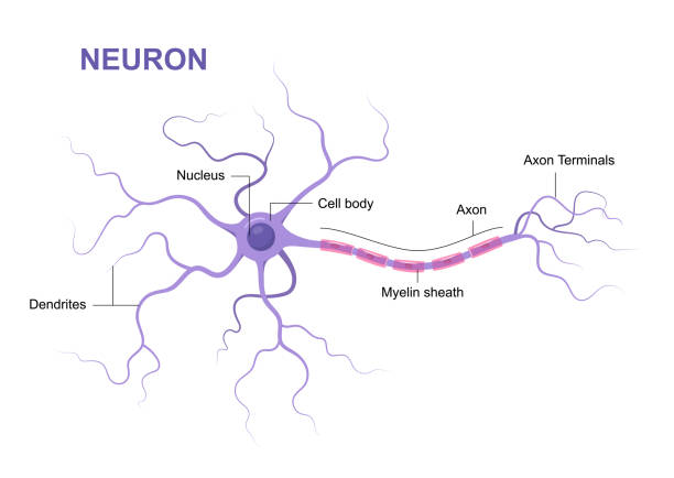 Illustration of neuron anatomy. Structure. Vector infographic (nerve cell axon and myelin sheath) Illustration of neuron anatomy. Structure. Vector infographic (nerve cell axon and myelin sheath) dendrite stock illustrations