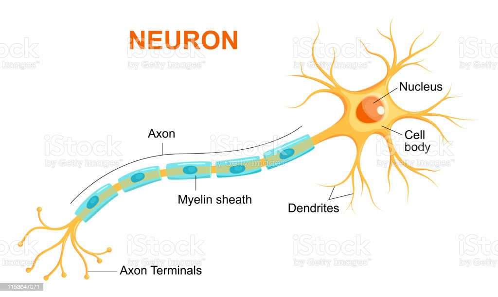 Illustration of neuron anatomy. Vector infographic (Neuron, nerve cell axon and myelin sheath) Illustration of neuron anatomy. Vector infographic (Neuron, nerve cell axon and myelin sheath) Anatomy stock vector