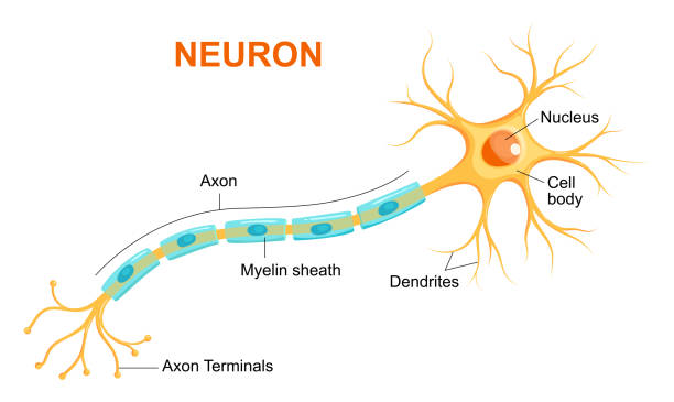 Illustration of neuron anatomy. Vector infographic (Neuron, nerve cell axon and myelin sheath) Illustration of neuron anatomy. Vector infographic (Neuron, nerve cell axon and myelin sheath) neurons stock illustrations