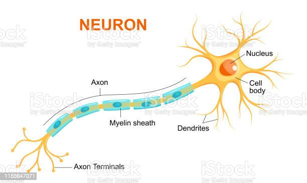 Illustration Of Neuron Anatomy Vector Infographic Stock Illustration - Download Image Now