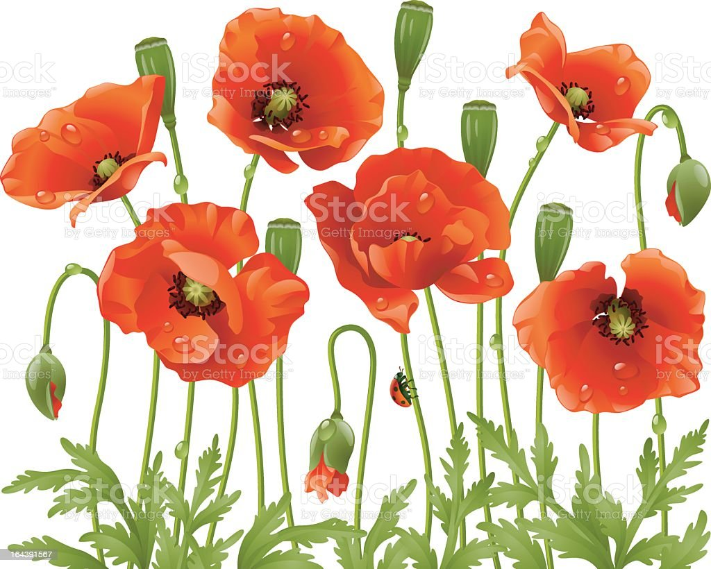 Illustration of red poppies in a field vector art illustration