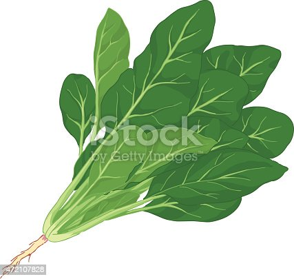 Vector illustration of spinach.