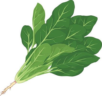 Illustration of spinach with root against white background