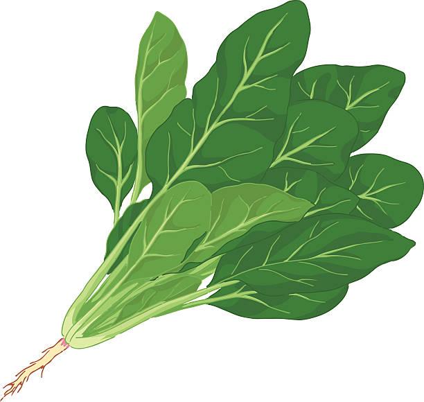 bildbanksillustrationer, clip art samt tecknat material och ikoner med illustration of spinach with root against white background - spenat