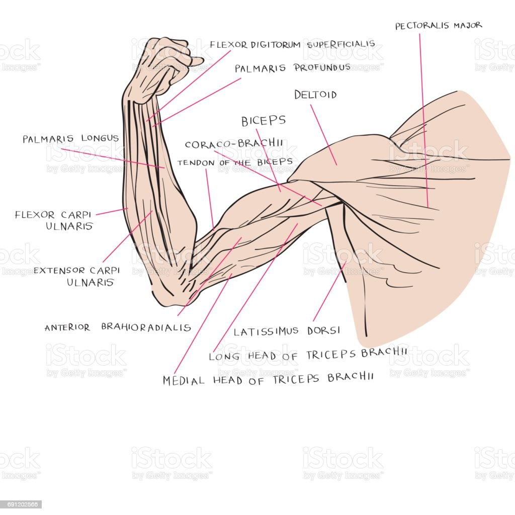Illustration Of The Arm Muscles Stock Vector Art More Images Of