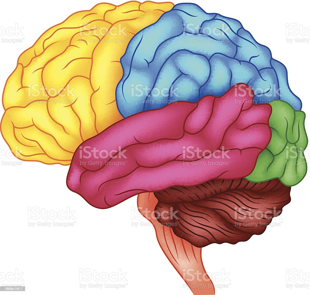 Illustration Of The Human Brain Anatomy On White Background Stock
