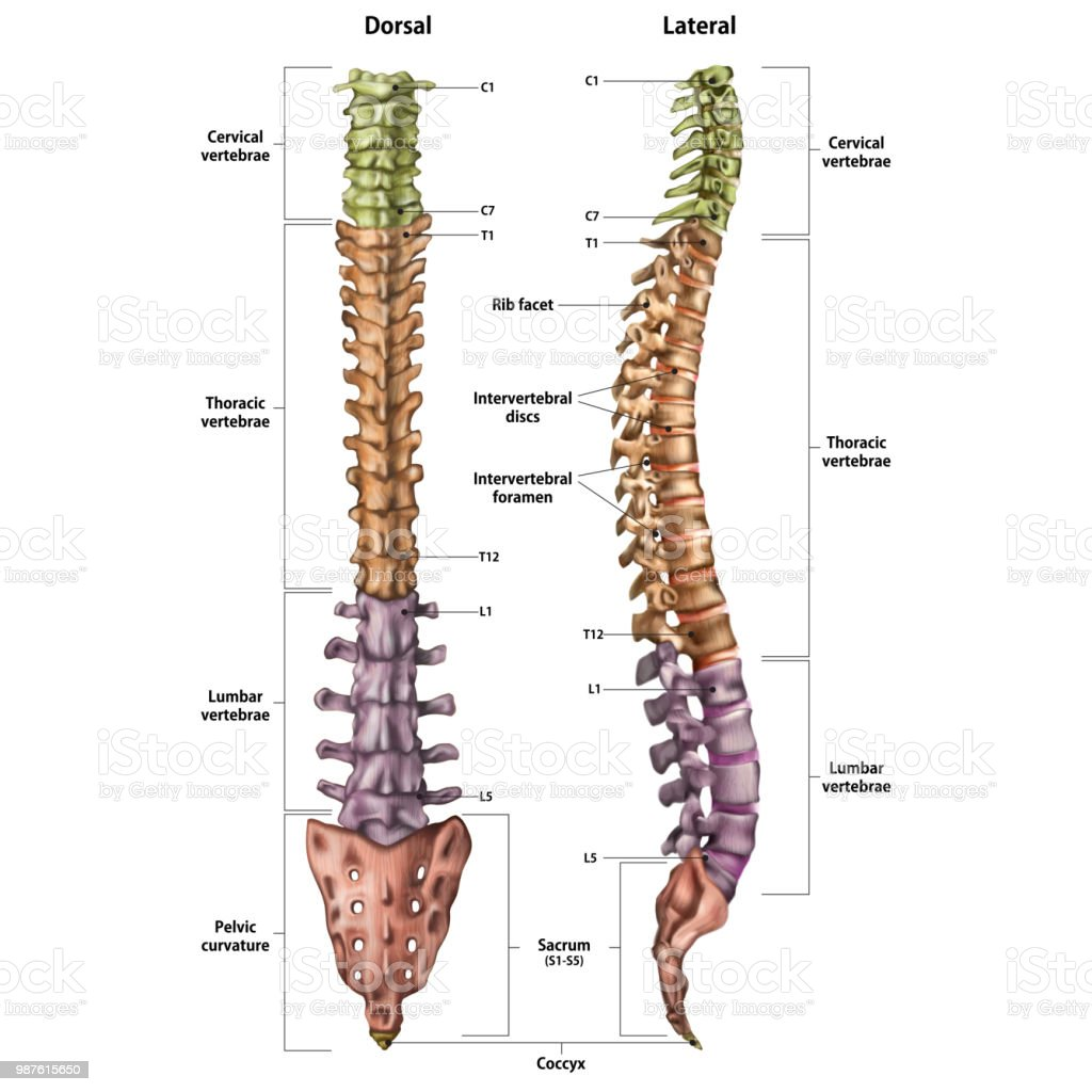 Illustration Of The Human Spine With The Name And Description Of All