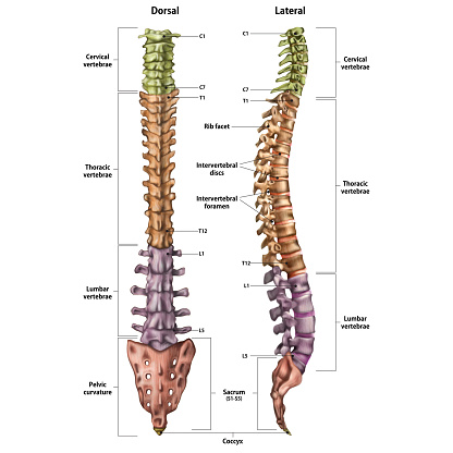 Illustration of the human spine with the name and description of all sites. Lateral and spinal views.