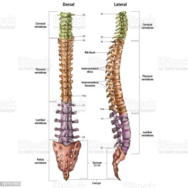 Spinal Free Vector Art - (4,209 Free Downloads) on spine layout, spine joints, spine icon, spine numbering, spinal cord injury, pharyngeal arch, spine surgery, spine cartoon, spine too straight, spine fracture, spine graphic, skeletal pneumaticity, spine with nerves, spine segments, spine drawing, spine chart, spine with numbers, spine clipart, spine model, spine x-ray, spine l5-s1, spine anatomy, spine bones,