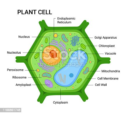 Illustration of the Plant cell anatomy structure. Vector infographic with nucleus, mitochondria, endoplasmic reticulum, golgi apparatus, cytoplasm,  wall membrane etc