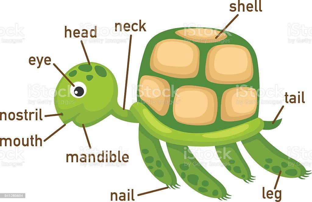 Ilustración de Tortuga Ilustración De Vocabulario Parte Del Cuerpo y ...