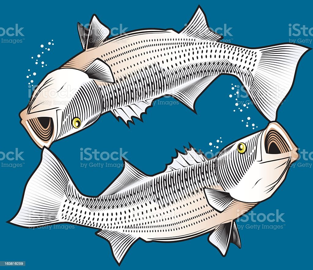 Illustration of two striped bass circling each other royalty-free stock vector art