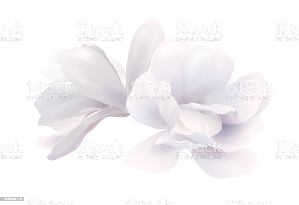 Illustration of two white beautiful magnolia, Spring flower isolated on white background vector art illustration