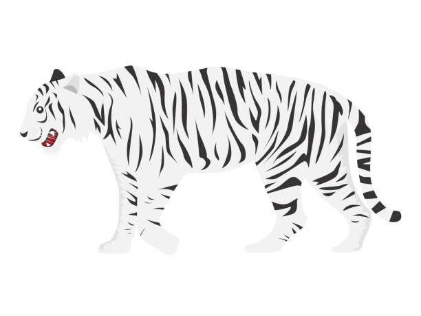 illustrations, cliparts, dessins animés et icônes de illustration du tigre blanc. - tigre blanc