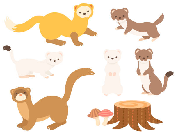 Illustration set of slender small animals (Weasel, Marten, Ermine, Least Weasel) This is an illustration set of slender small animals (Weasel, Marten, Ermine, Least Weasel) and a Stump and mushrooms in Japan. ermine stock illustrations