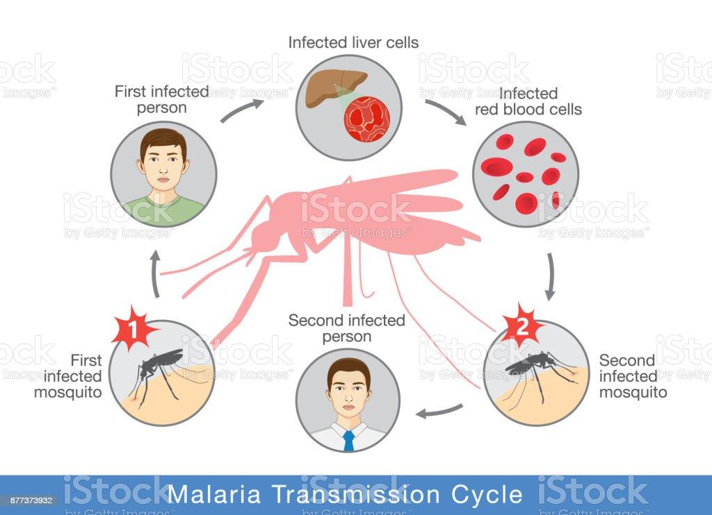 Malaria Lebenszyklus