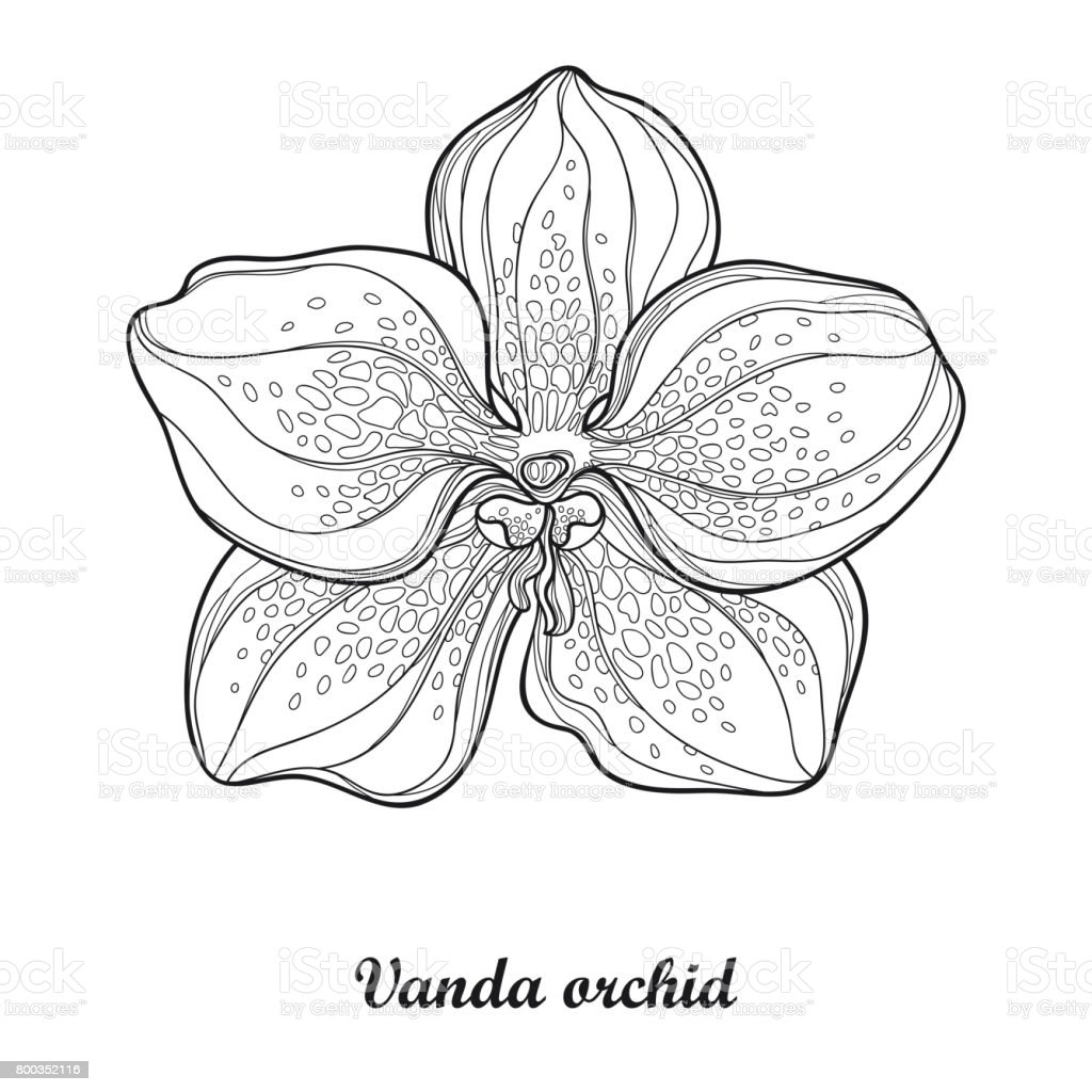 illustration with outline vanda orchid flower isolated on