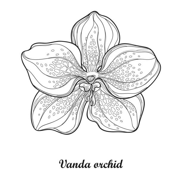 Royalty Free Vandaceous Orchids Clip Art, Vector Images ...