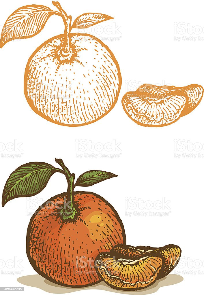 Illustrations of tangerine vector art illustration