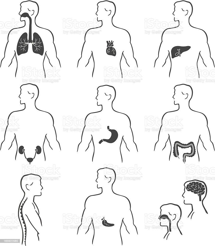 Ilustración de Los órganos En El Cuerpo Humano y más banco de ...