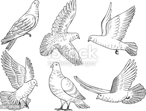 Illustrations set of pigeons. Hand drawn pictures of birds isolate on white. Animal pigeon bird, wild dove drawing vector