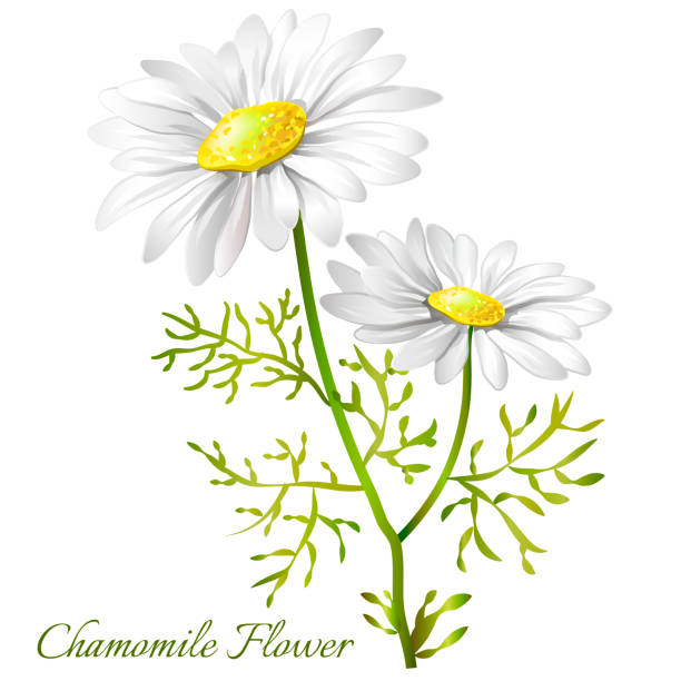 Image of a flower of a camomile. Chamomile officinalis. Image of a flower of a camomile. Chamomile officinalis. Vector illustration. chamomile plant stock illustrations