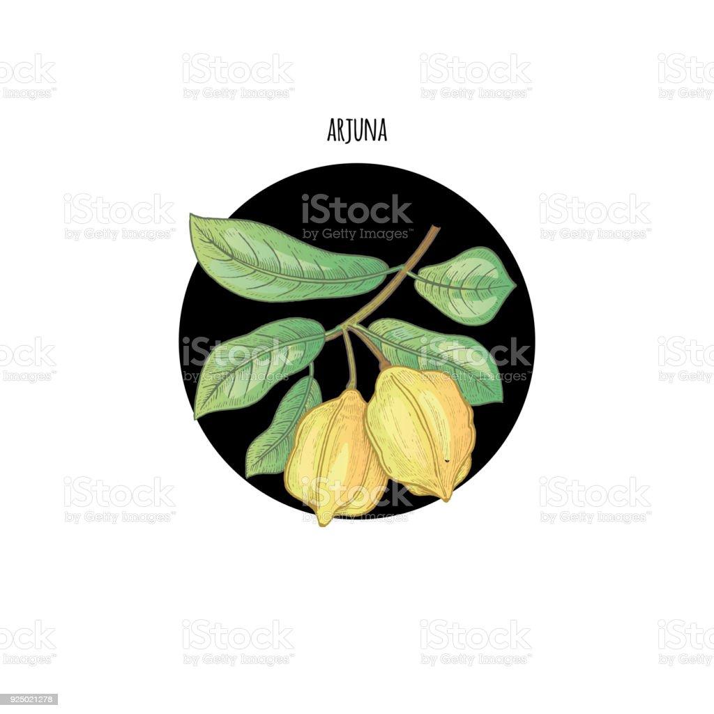 Image of branch plants arjuna vector art illustration