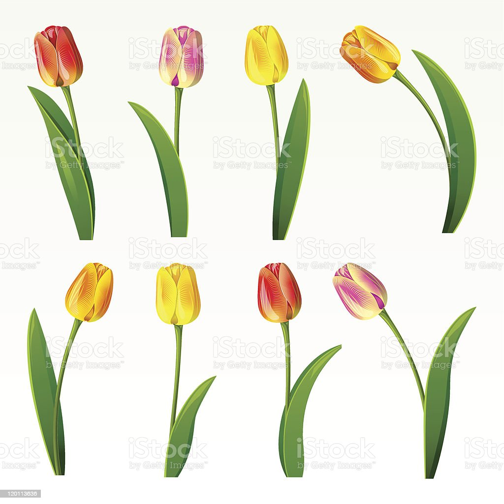 Image of eight tulips of different colors on white back vector art illustration