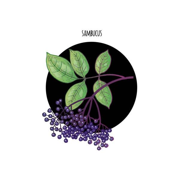 bild der pflanze sambucus nigra - holunderstrauch stock-grafiken, -clipart, -cartoons und -symbole