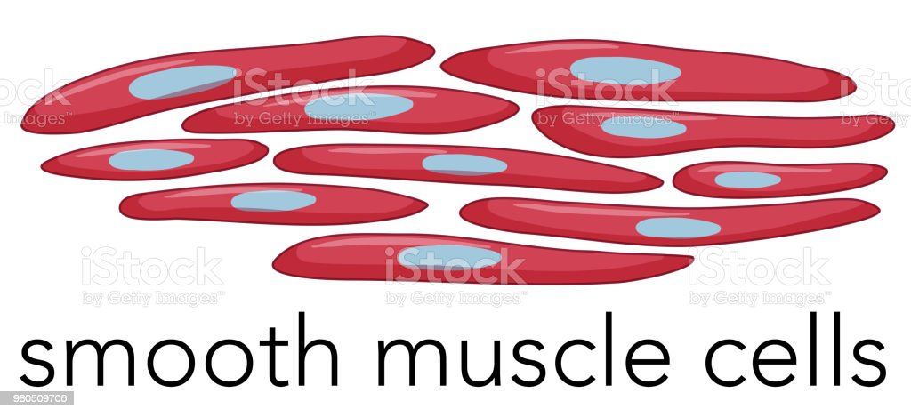 Image Of Smooth Muscle Cells Stock Vector Art More Images Of Adult