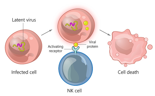 Immune cell interaction with infected cells