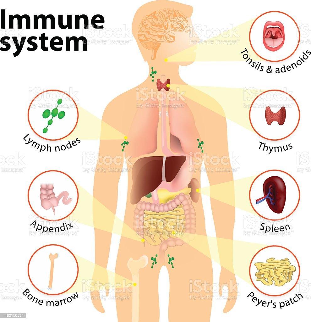 Nett Immunsystem Anatomie Fotos - Menschliche Anatomie Bilder ...