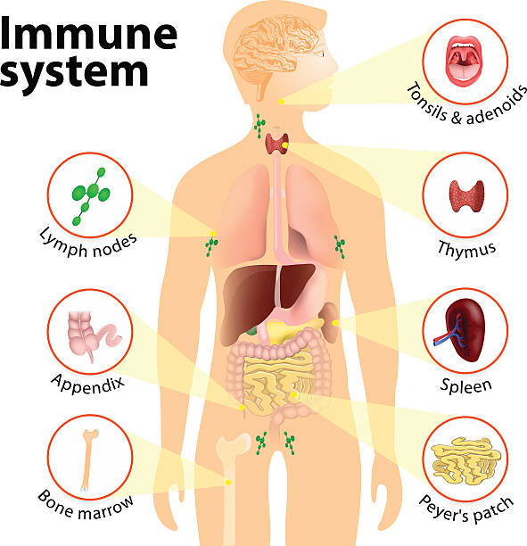 Immune system Immune system. Human anatomy. Human silhouette with internal organs. immune system stock illustrations