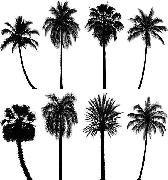 illustrations, cliparts, dessins animés et icônes de incroyablement détaillées de palmiers - palmier