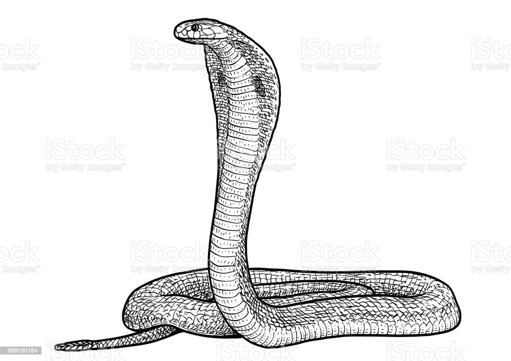 Dessin Cobra illustration de cobra indien dessin gravure encre dessin au trait
