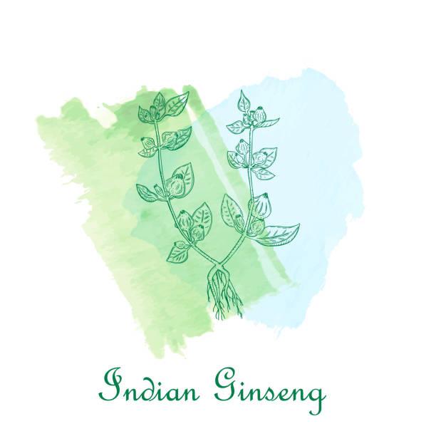 indische ginseng pflanze auf dem aquarell pinselstriche platziert - schlafbeere stock-grafiken, -clipart, -cartoons und -symbole