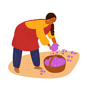 Indian Woman Collecting Saffron. Spices Harvesting. Traditional Agriculture. Flat Hand Drawn Vector Illustration. Isolated On White.