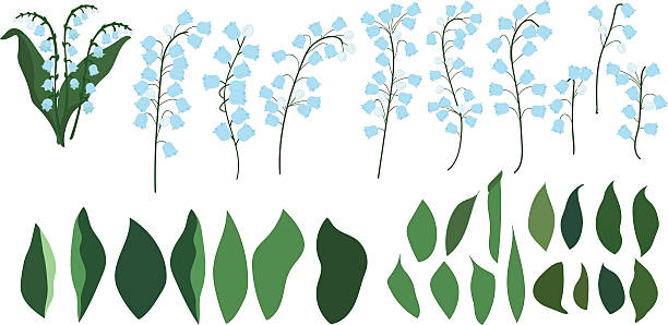 Individual parts of lilies of the valley, flowers and leaves Individual parts of lilies of the valley on a transparent background, flowers and leaves trillium stock illustrations