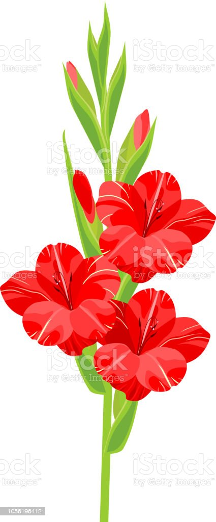 Inflorescence Of Gladiolus With Red Flowers On White Background